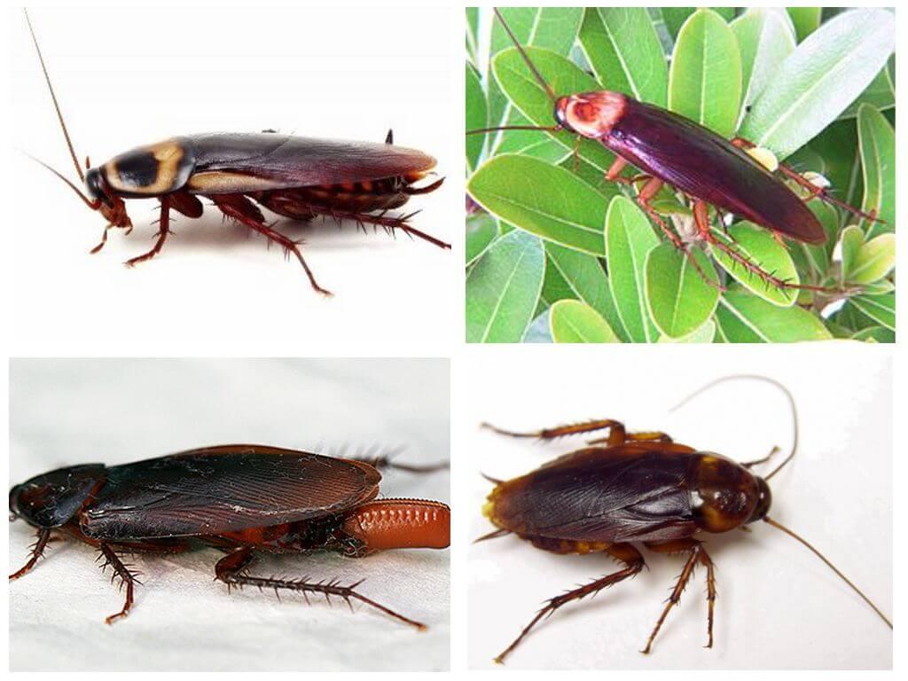 Как выглядят тараканы разных видов