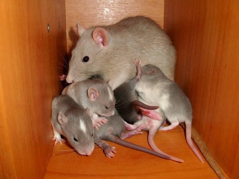 Чего боятся мыши: народные средствав борьбе с мелкими грызунами