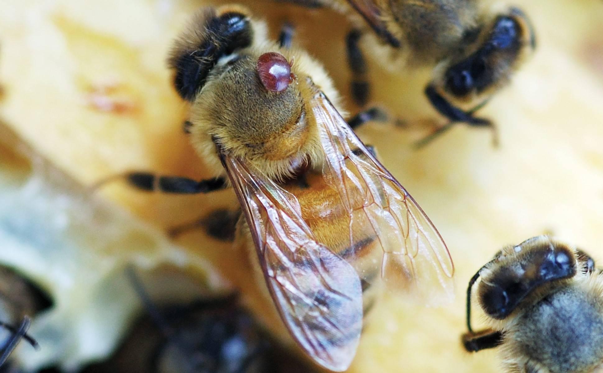 ❶ 4 способа как вылечить варроатоз пчел