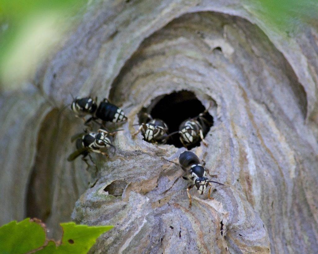 Как быстро избавиться от осиного гнезда?