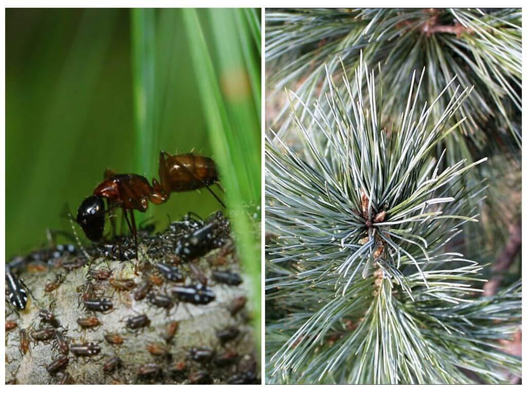 Гусеницы на сосне: как бороться с сосновым пилильщиком