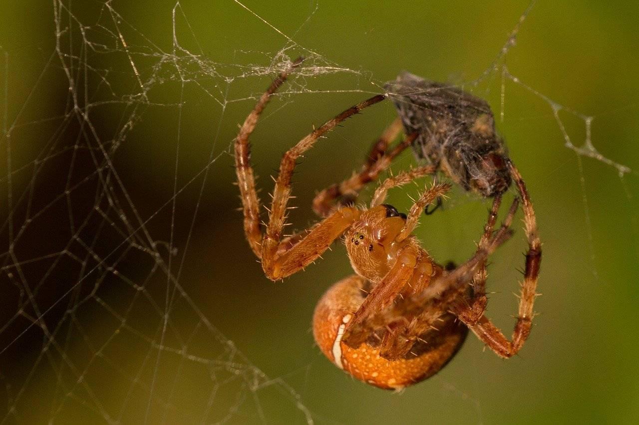 Обыкновенный паук крестовик: фото и описание