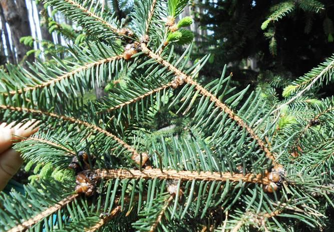 Методы борьбы со щитовкой на хвойных деревьях: туях, елях и др.