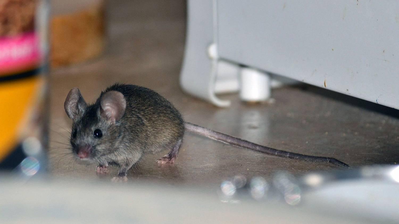 Топ-10 лучших средств от мышей и крыс в частном доме: боремся с грызунами эффективно! +отзывы