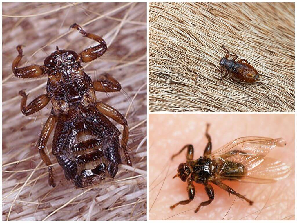 Лосиная муха (оленья кровососка) — чем опасна для человека?