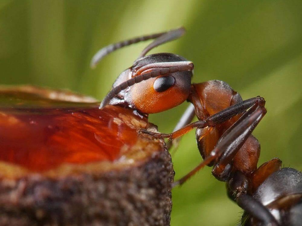 Муравей - самые опасные и интересные насекомые и их особенности (80 фото)