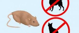 Почему крысы нападают на людей и чем могут быть опасны такие нападения