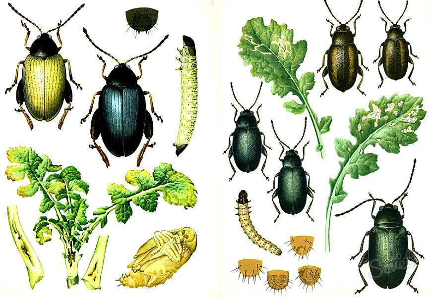 Проволочник: методы борьбы с личинками на огороде