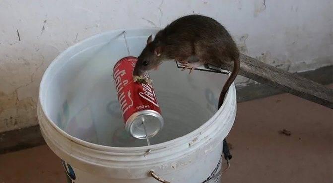 Как бороться с крысами в частном доме и какие средства при этом лучше использовать