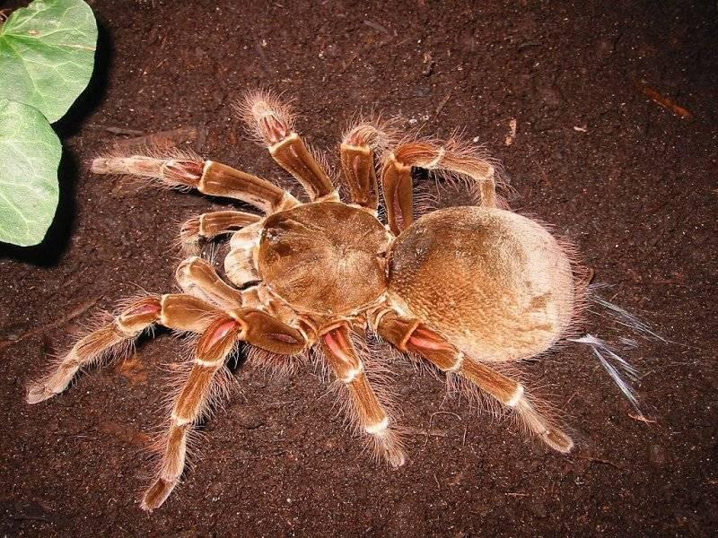 Укус паука-птицееда: опасен ли для человека и что делать, если укусил ядовитый тарантул