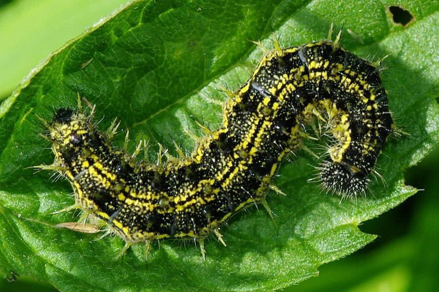 Вред гусеницы крапивницы - аллергические поражения кожи