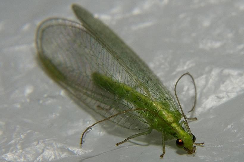 Как уничтожить мошкару в квартире. появление маленьких зеленых мошек в квартире: что это за насекомые и как с ними бороться? выводим мошку с помощью ловушек