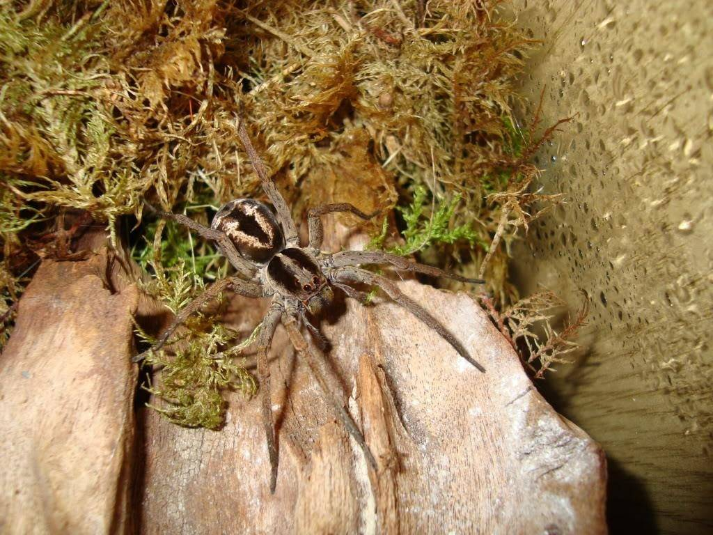 Паук тарантул: фото и описание, виды, где обитают, сколько живут, ядовиты или нет, как ухаживать в домашних условиях