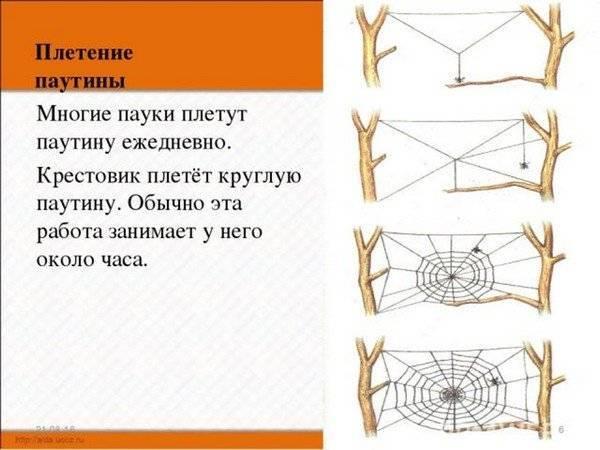 Почему пауки плетут паутину? описание, фото и видео  - «как и почему»