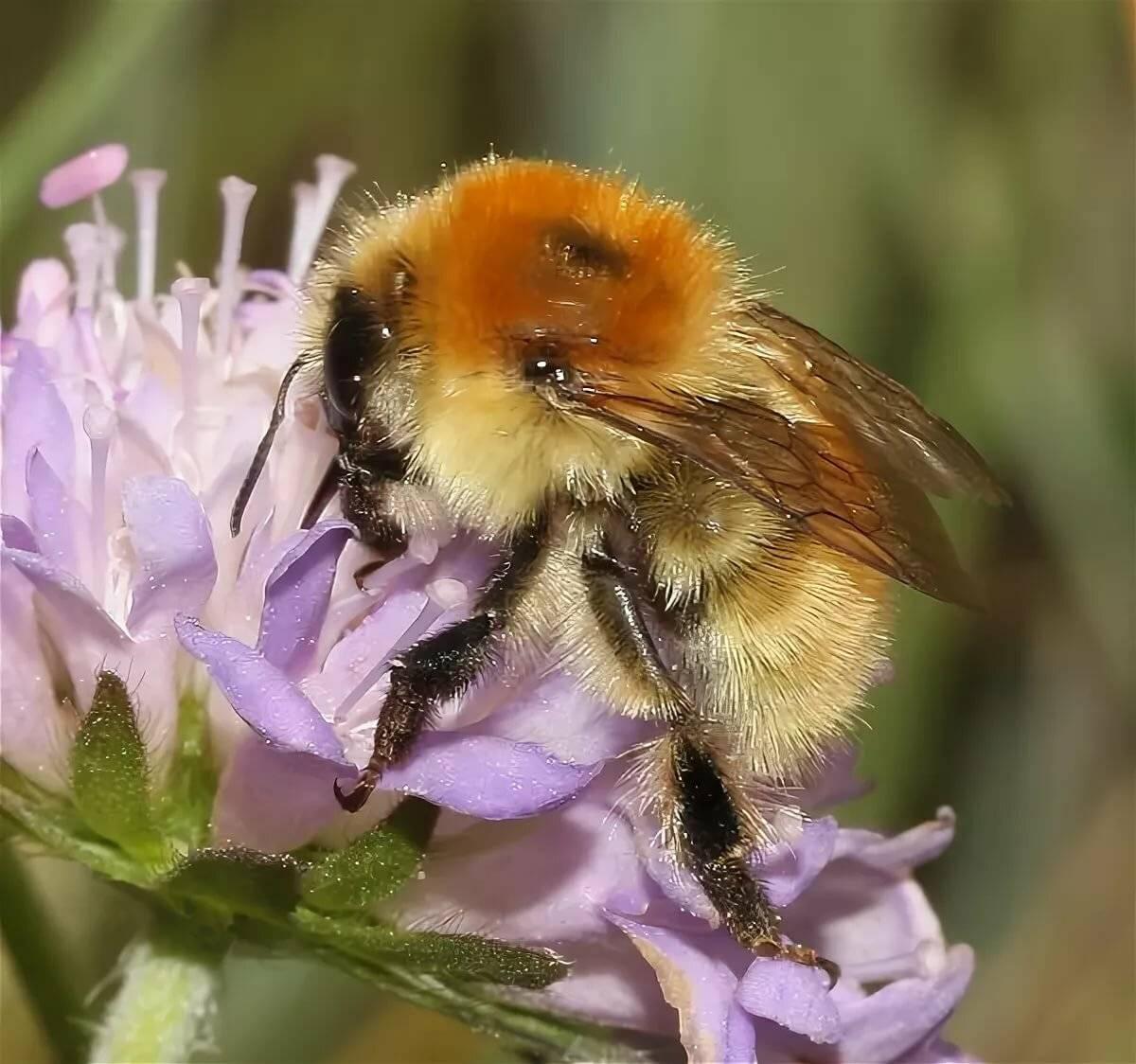 Короткая справка о медоносных пчёлах   зооляндия