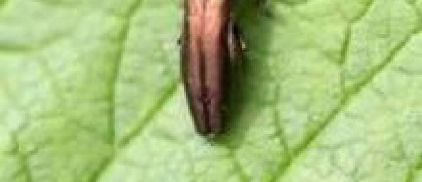 Хрущ, или майский жук — как бороться с вредителем? описание, личинка, как избавиться. фото — ботаничка.ru