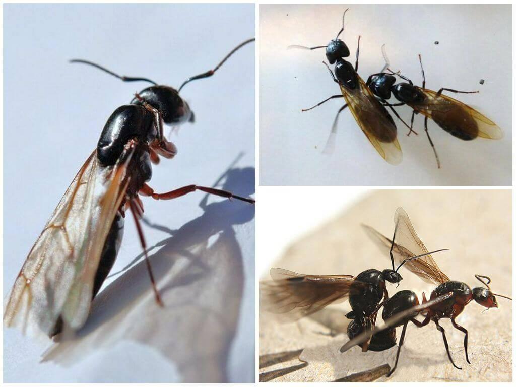 Летающие муравьи – описание и способы избавления