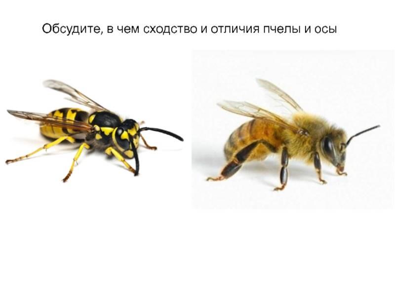 Чем отличается пчела от шмеля