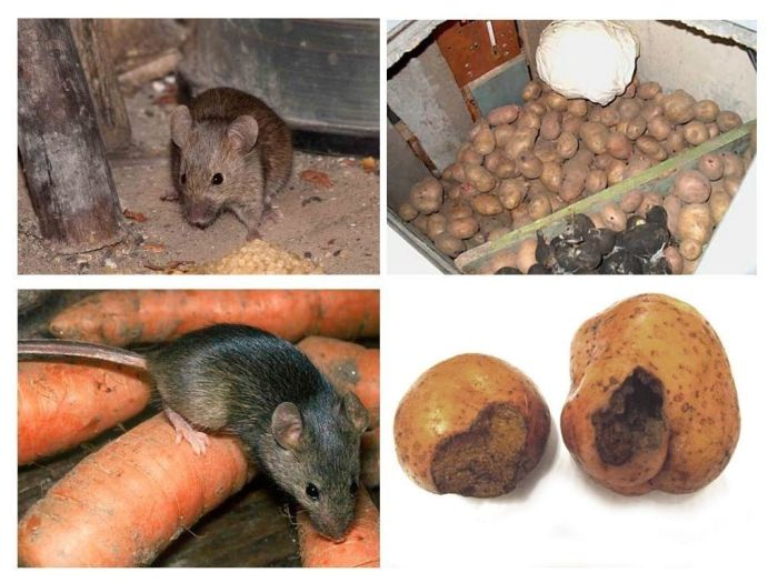 Как избавиться от крыс в частном доме? рекомендации сэс