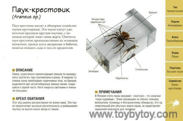 Опасен ли паук крестовик для человека