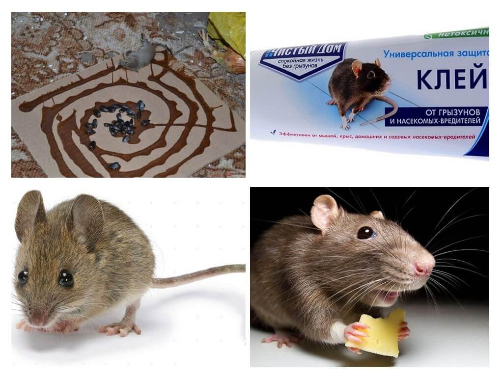 Основные отличия крыс и мышей