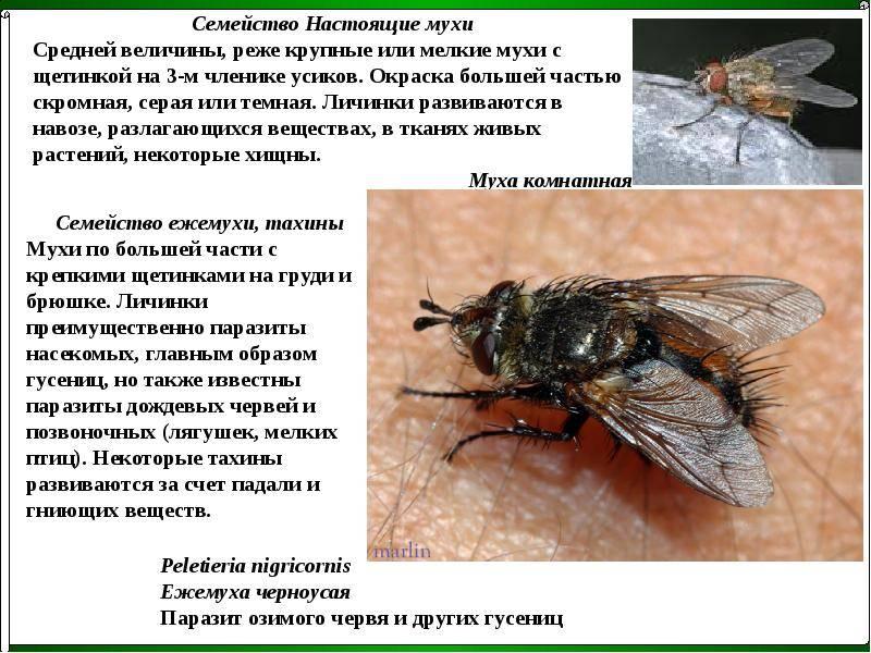 Комнатная муха – фото и описание