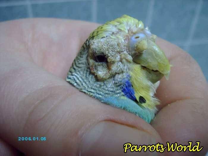 Клещи у  домашних попугаев. типичные признаки. как избавиться от паразитов