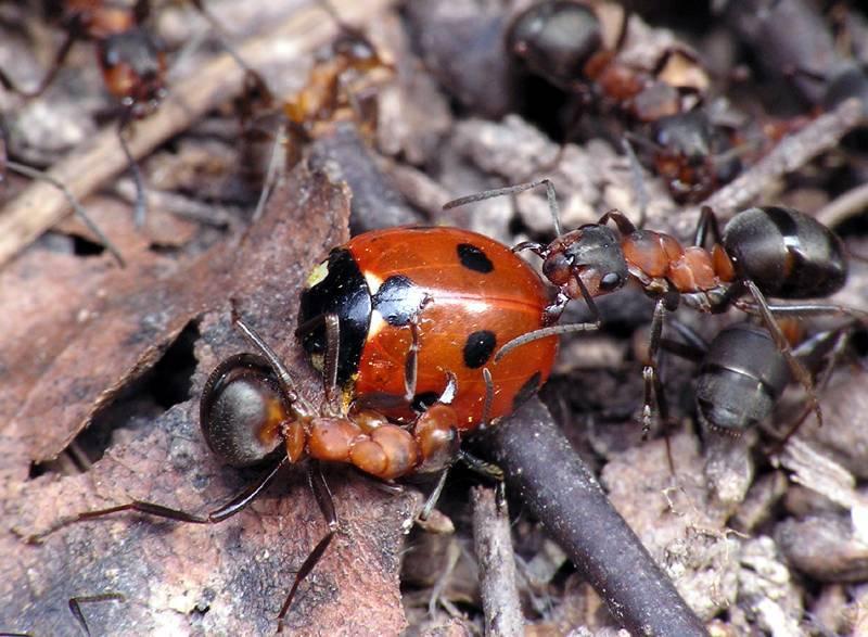 Интересные факты о муравьях
