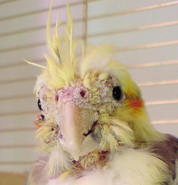 Клещи у попугаев — как вылечить?