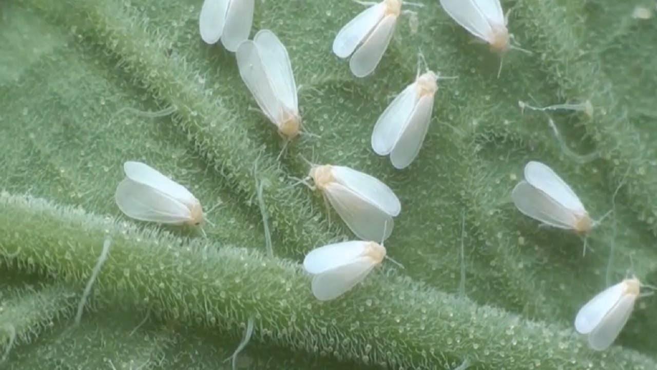 Белокрылка на комнатных растениях: как бороться, фото, лучшие средства