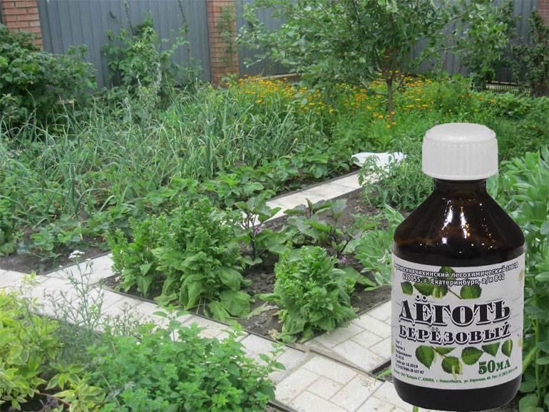 Березовый деготь: способы применения в саду и огороде против вредителей