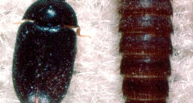 Как избавиться от личинок жука кожееда