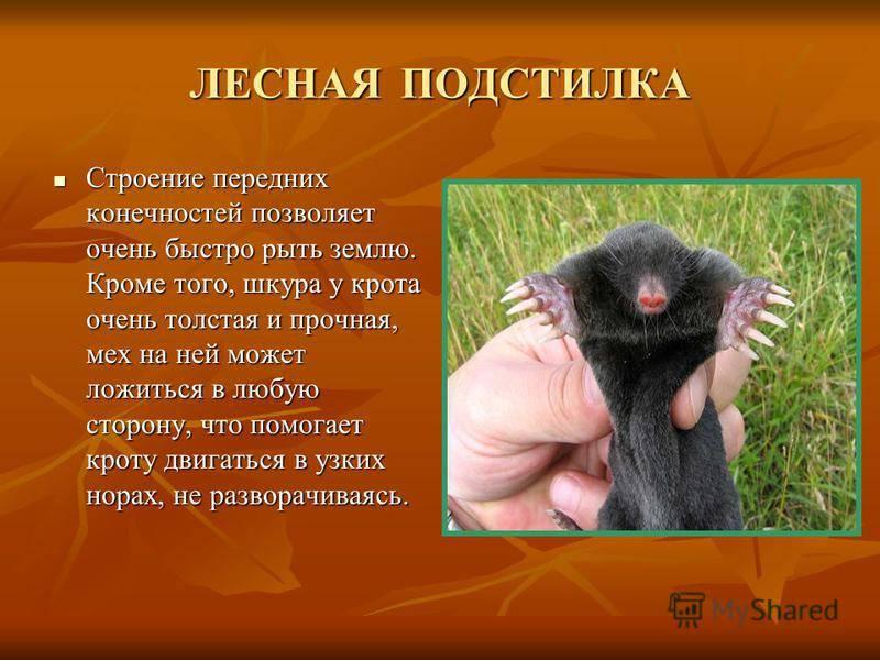 Звездонос крот. описание, особенности, образ жизни и среда обитания звездоноса | живность.ру