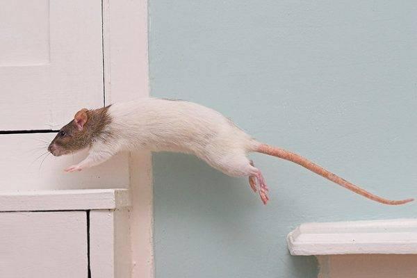 Лысая крыса сфинкс: все о декоративной породе грызунов без шерсти