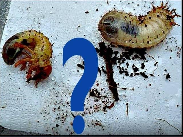 Как отличить личинки медведки и майского жука — изучаем все нюансы