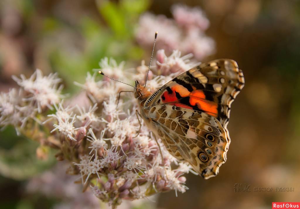 Переливница ивовая: красивая бабочка со странными вкусовыми пристрастиями