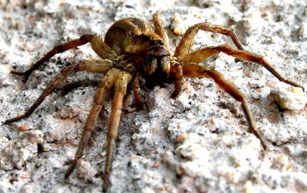Топ-10 ядовитых пауков мира: черная вдова, каракурт и другие