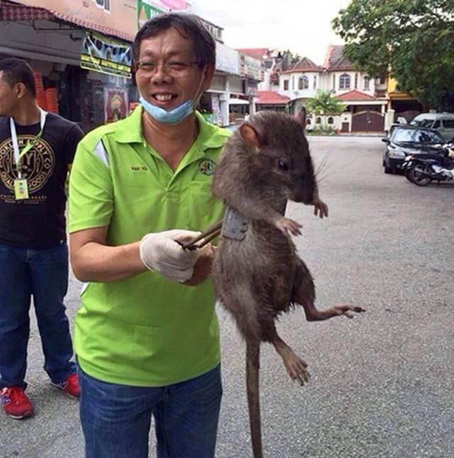 Рейтинг самых огромных крыс в мире и россии: босави, тростниковая, потору, пасюк, черная и туркестанская