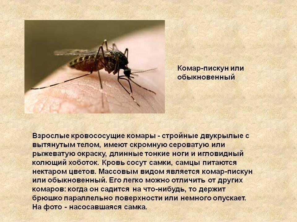 Почему комар пищит, а не жужжит, чем и как он издаёт такой звук?