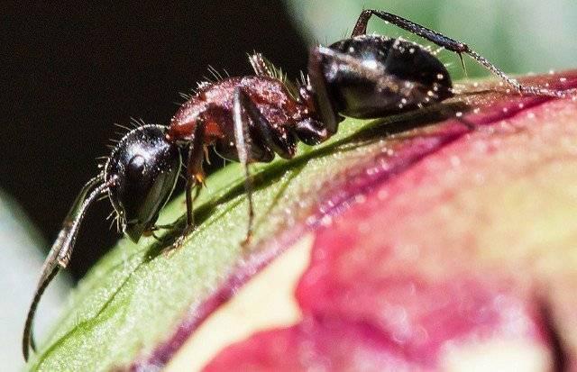 Как избавиться от муравьев на пионах. варианты обработки