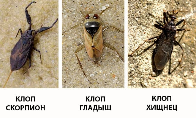 Живут ли в россии триатомовые клопы? почему его называют «поцелуйный клоп»?