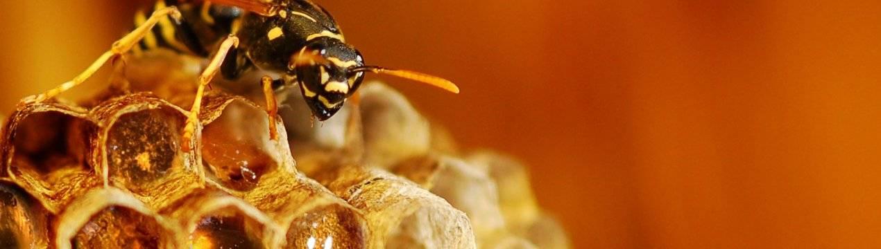 Чем полезны осы? осы пчелы шмели в саду