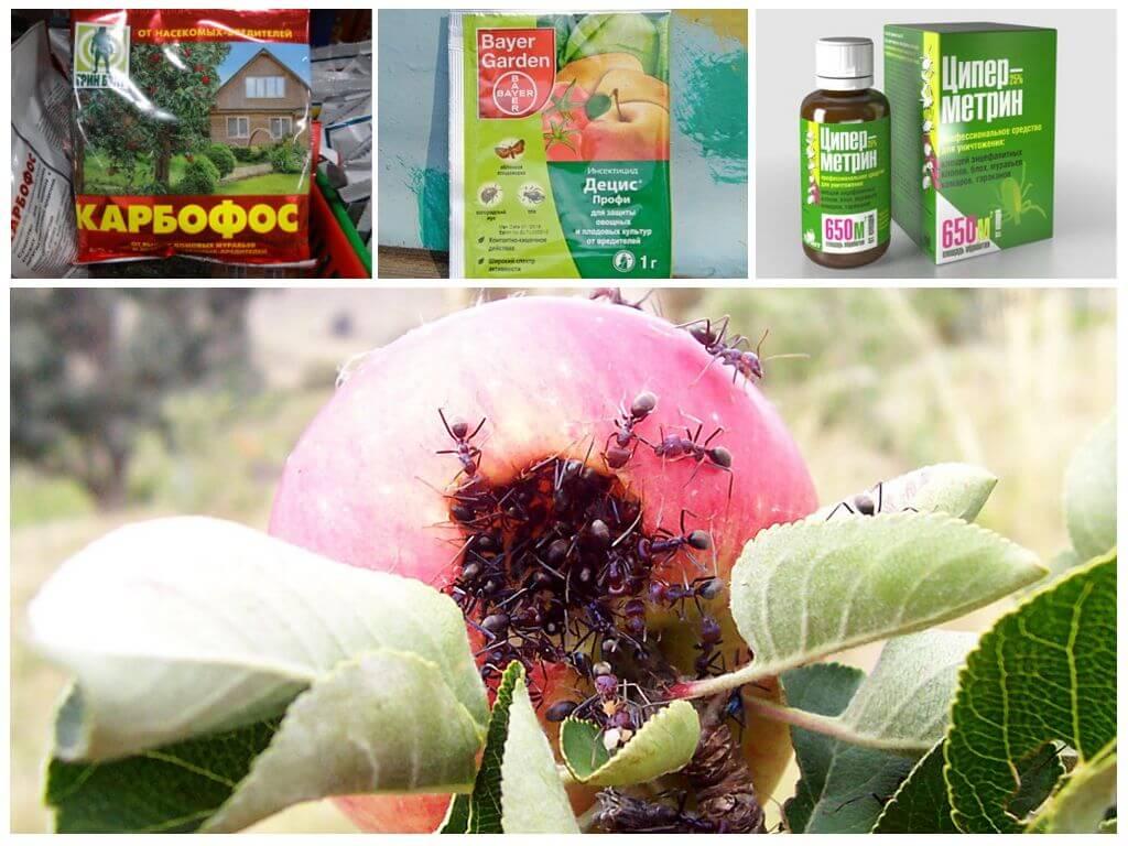 Как избавиться от муравьев на плодовых деревьях и кустарниках