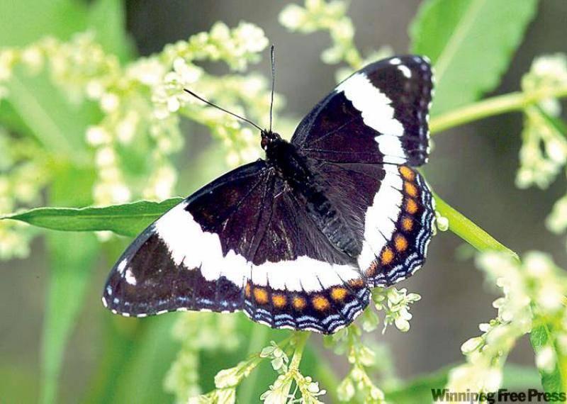 Бабочки сибири: фото и интересные факты