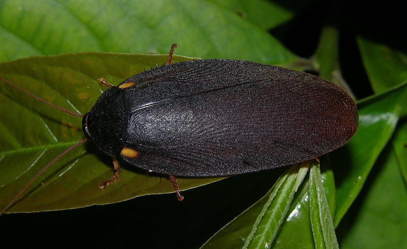 Мраморный таракан   мир животных и растений