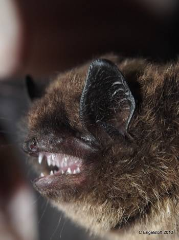 Может ли укусить летучая мышь и насколько она опасна для человека. кусаются ли ужи: узнайте все опаски и рекомендации из первых уст