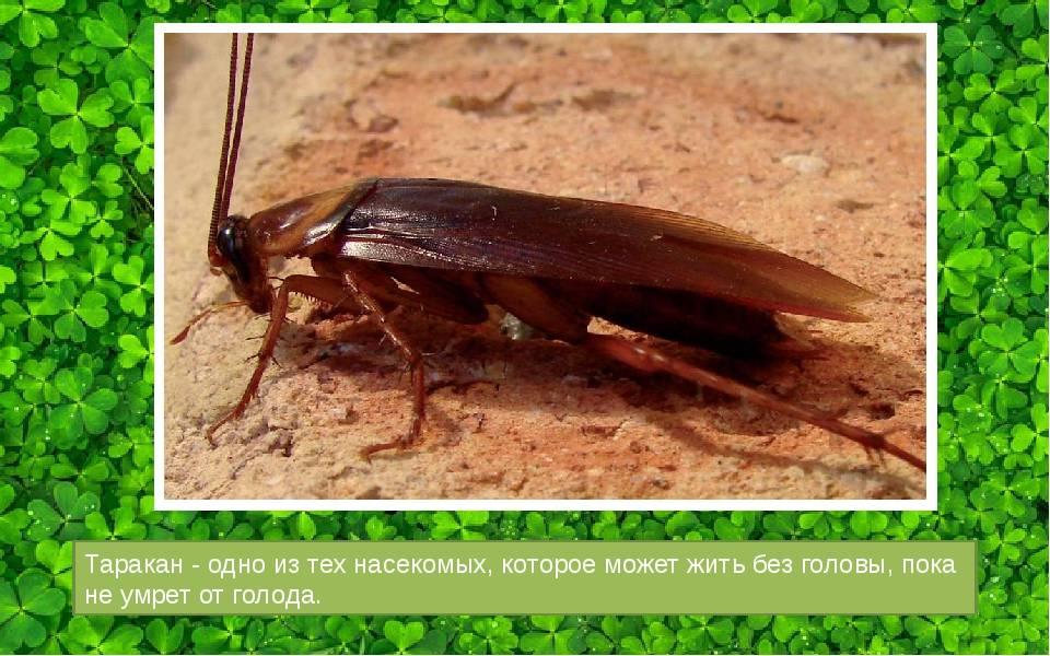 Сколько живет таракан без головы: описание, 9 дней без головы,почему таракан живет без головы