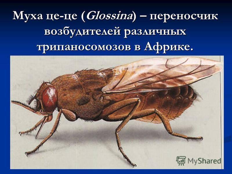Мясная муха - твой терапевт