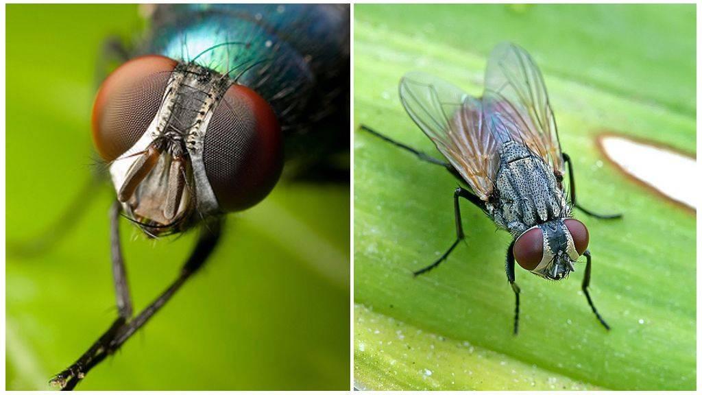 Факты о мухах: сколько глаз, сколько крыльев, вес мухи