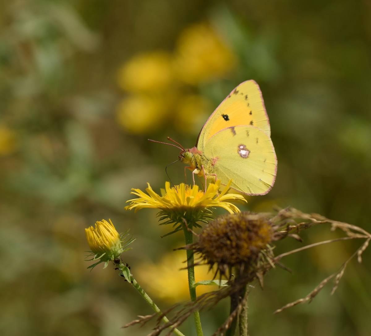 Бабочка желтушка луговая – любительница клевера и люцерны. желтушка луговая рассказ про бабочку луговая желтушка